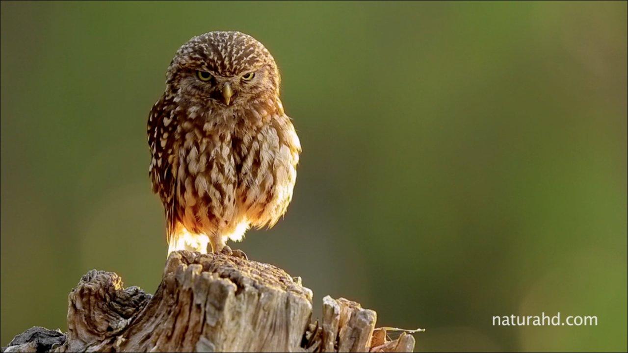 Mochuelo-Ave del año 2011-SEO/BirdLife