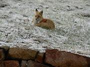 DSCN1818-fox lying down