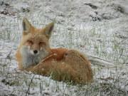DSCN1820-fox lying down