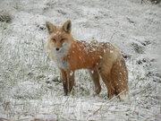 DSCN1804-fox in snow