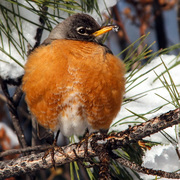 2013_04_18-08_38_14-3166-robins-in-snow-Alek-Komarnitsky