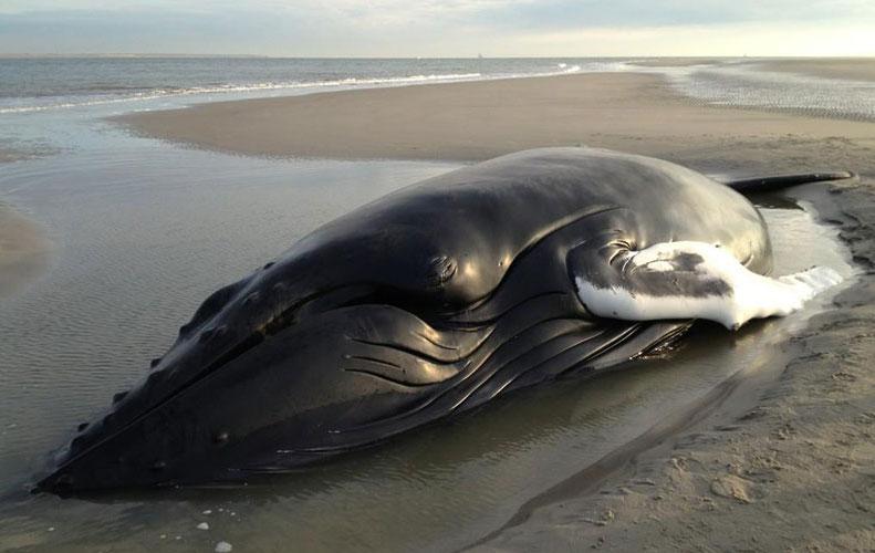 De gestrande bultrug op de zandplaat bij Texel is overleden