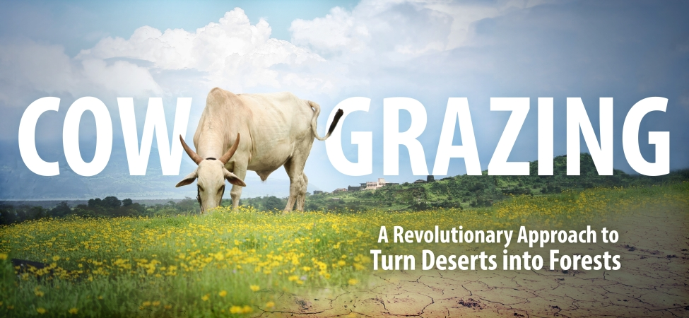 Cow grazing & Cow therapy