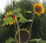 International Sunflower Guerrilla Gardening Day 2011