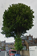 Haringey Tree Wardens - Tree Walk - St Anns (Street Trees)