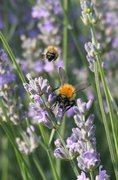 Talk: Plight of the Bumblebee