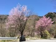 扉峠付近の桜