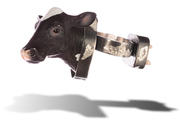 Mad Cow - Zoonoses Series (Ring)