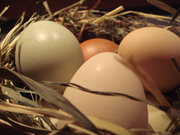 A Beginners Guider to Keeping Chickens