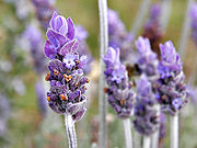 Lavender Blue Lavender Water Refill