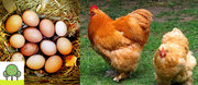 City chooks – keeping chickens in your backyard: