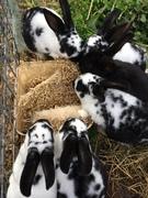 Keeping Meat rabbits