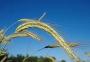 Small scale Grain Growing in Western Washington