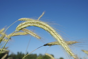 Small Scale Grain Growing in Whatcom County Continued...