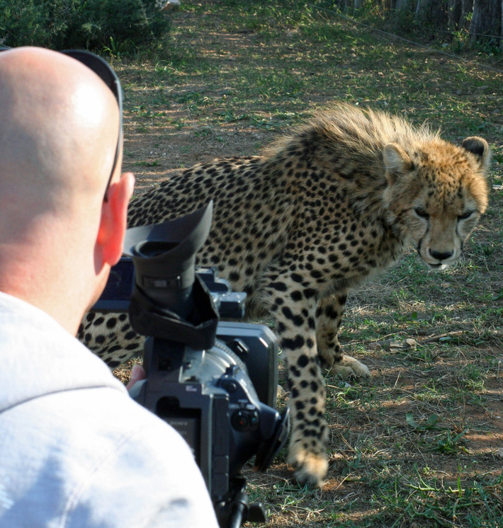 Cheetah vs cameraman