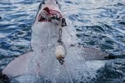Witte haai grijpt aas, Kleinbaai, Zuid-Afrika