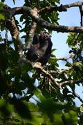 Roepende chimpansee