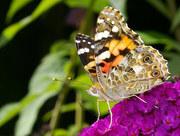 Schmetterling 2009 (37)