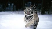 WHITE TIGER IN SNOW