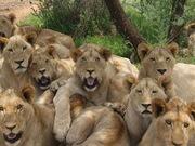 Big-Cats-For-You-Sis-kingsimba4ever9-31419697-1024-768