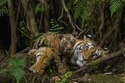 Tiger cub and mama