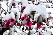 Snow on crabapple blossoms