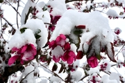 Snow on crabapple blossoms