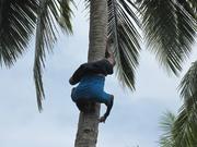"IMG_7302 ""how good can you climb a coconut tree...?"" Korovou Eco Resort, Naviti Is, Yasawa."