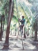Takaniko, checking out toddy, Thailand 1991