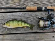 8.5'' Yellow Perch (5-5-19)