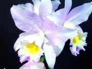 Paintography by Miguel (Painterly Orchids)