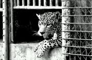 jaguar (blanco y negro)