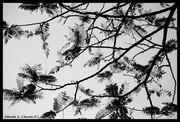 Enramada de Acacia -Cassia- b&n, redibujando el cielo.