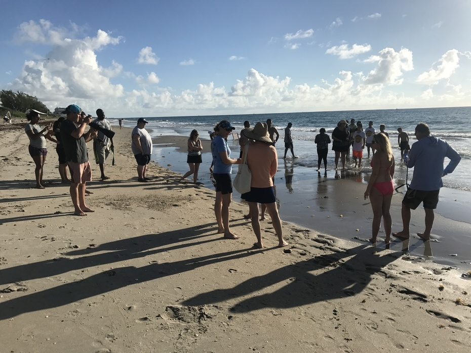 Early morning beachgoers gather to watch a Leatherback hatchling head to the sea.