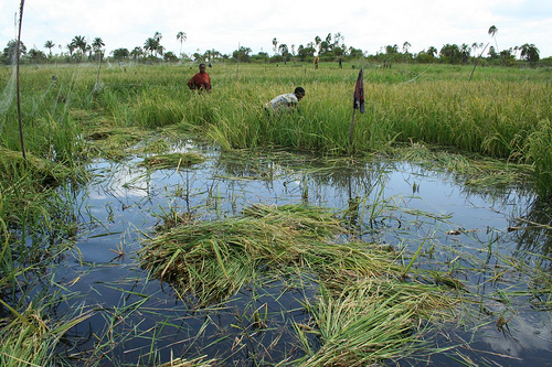 Upper Dam: harvesting in water