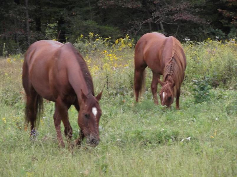 Bo & Peppy in the pasture