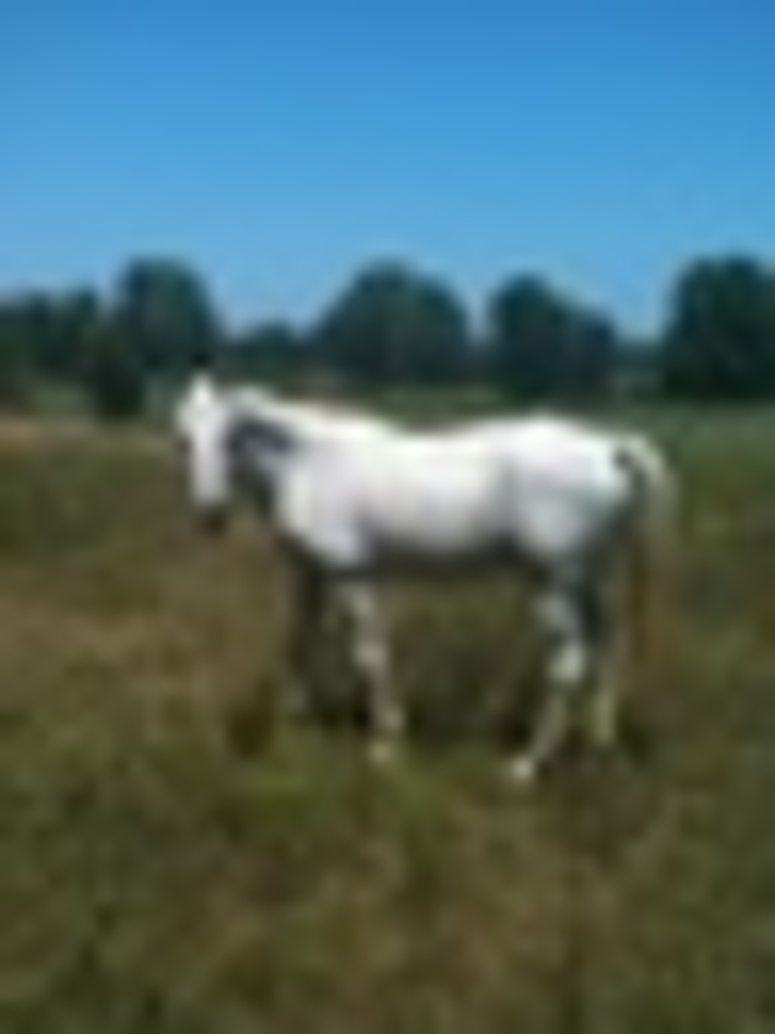 """Lord Grey """"Stroker"""" my quarter/arab trail deluxe!"""