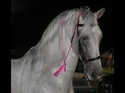 Silver Stallion