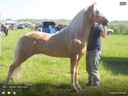 Trigger:Palamino Stallion