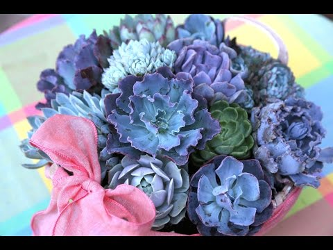 Plant a Succulent Gift Basket with Echeverias