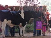 2008 Fair- Dairy Steer Sale