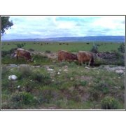 Brown Swiss cows grazing in México