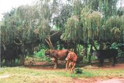 Wamaanyi Dairy Cows