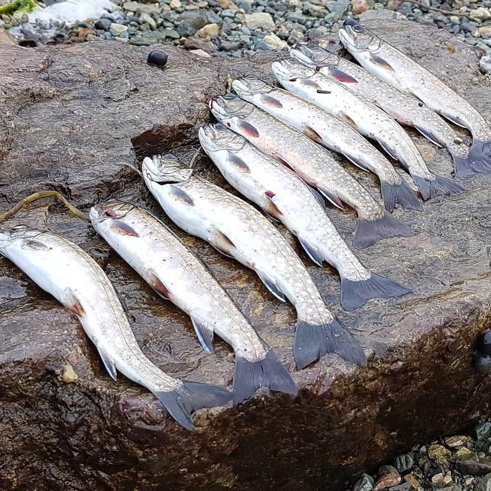 Few sea trout