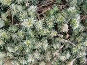 stříbřenka stříbrná (paronychia argent)
