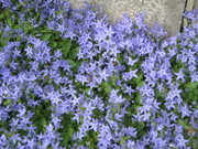zvonek gargánský (campanula garganica)