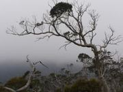 gum trees through the mist