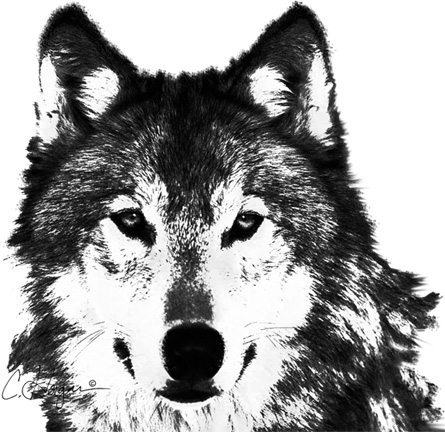 gray wolf_charcoal & oil pastel