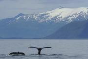 Pair of Humpbacks