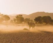 Desert-adapted Elephant in Damaraland, Namibia
